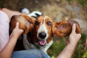 6 Home Remedies For Dog Ear Infections And How To Prevent Them