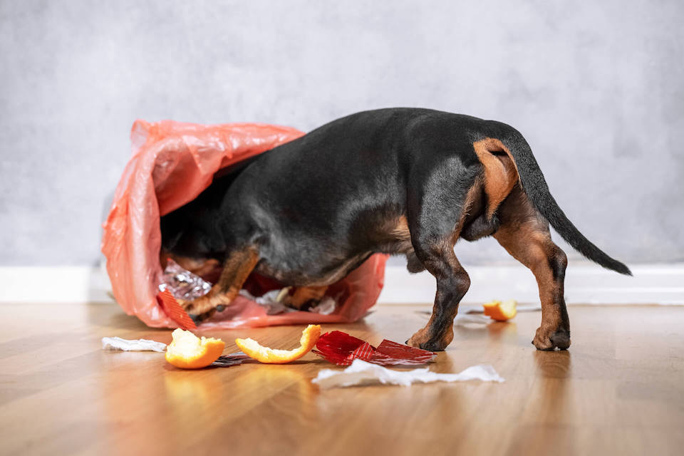 The rear end of a black weiner dog getting into a trash can