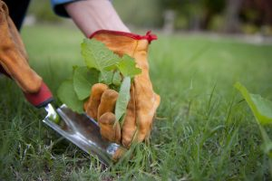 Woman pulling weeds out of the lawn
