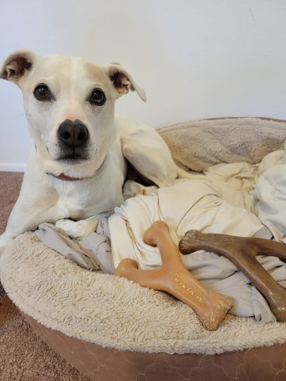 Cute white dog with his Benebone Chews
