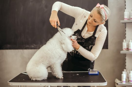 Woman grooming a mini poodle