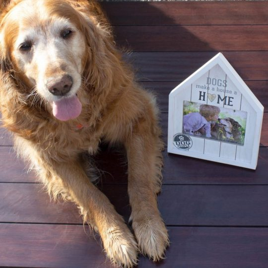 """White-faced golden retriever next to a frame that says """"Dogs make a house a home"""""""