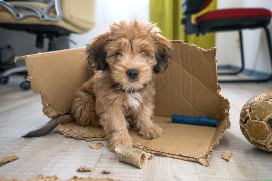 Adorable fluffy puppy in a chewed up box