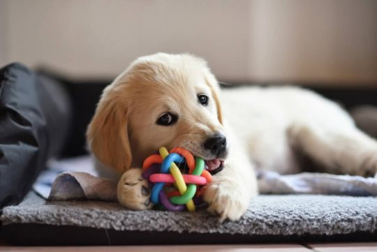 Yellow lab enjoying a rubber chew toy for puppies