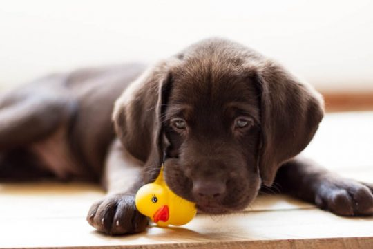 Brown lab puppy with a yellow rubber ducky