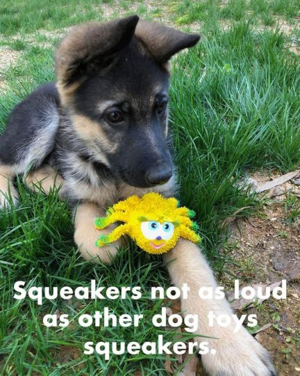 German shepherd pup with a Lucas B Natural Rubber Spider Toy