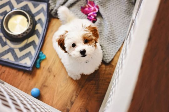 Fluffy puppy looking up at the camera from his playpen