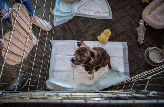 Pittie Puppy sitting on a pee pad