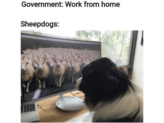 Government: Work from home. Sheepdogs on a zoom call with a border collie.