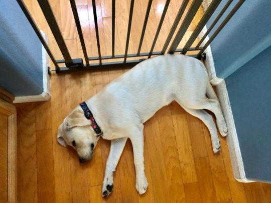 Yellow lab puppy laying against a baby gate