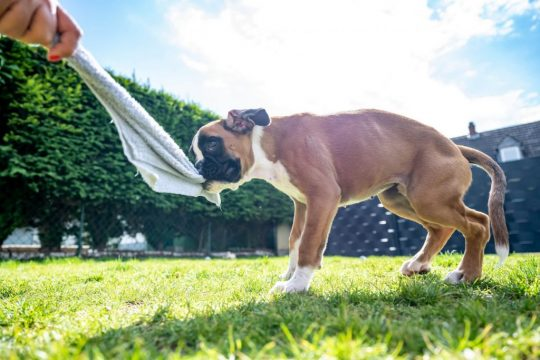 Boxer puppy playing with a towel
