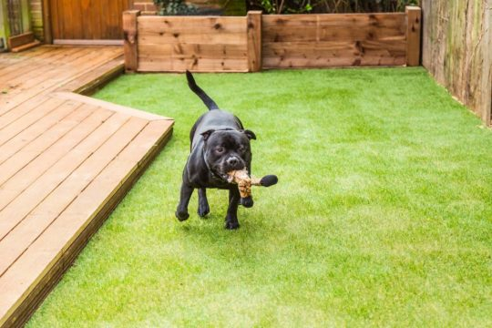 Black Pittie running across artificial grass with a dog toy in his mouth