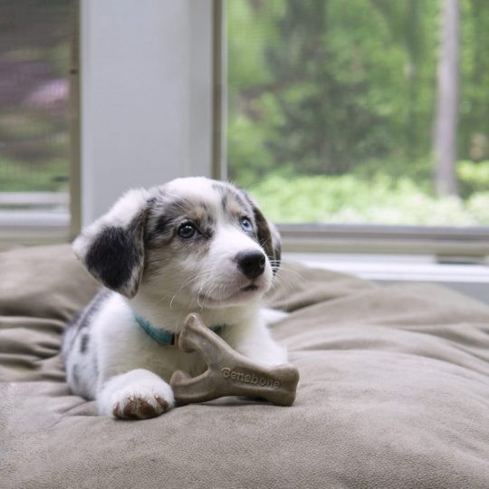 Collie puppy with a benebone on the bed