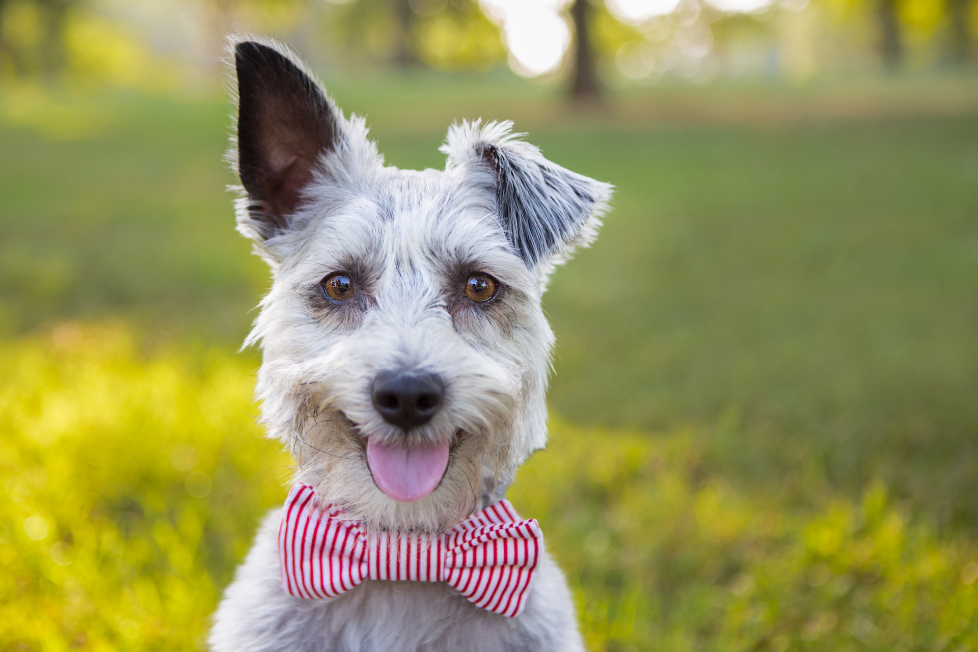 Schnauzer with a red and white striped bowtie on
