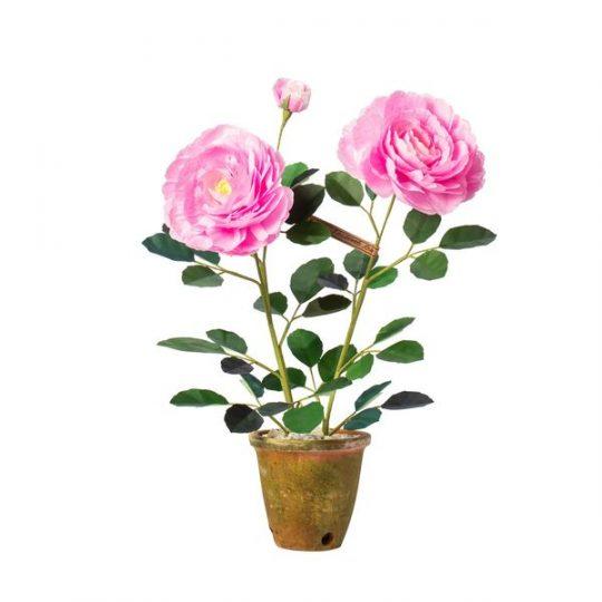 Floribunda Rose Plant