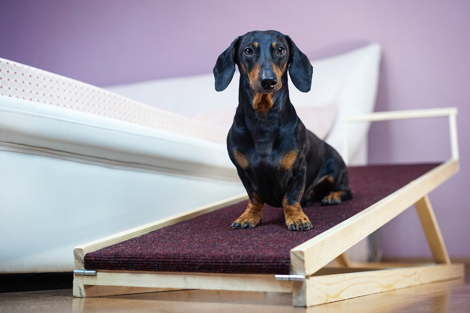 Black Dachshund on a pet ramp by a bed