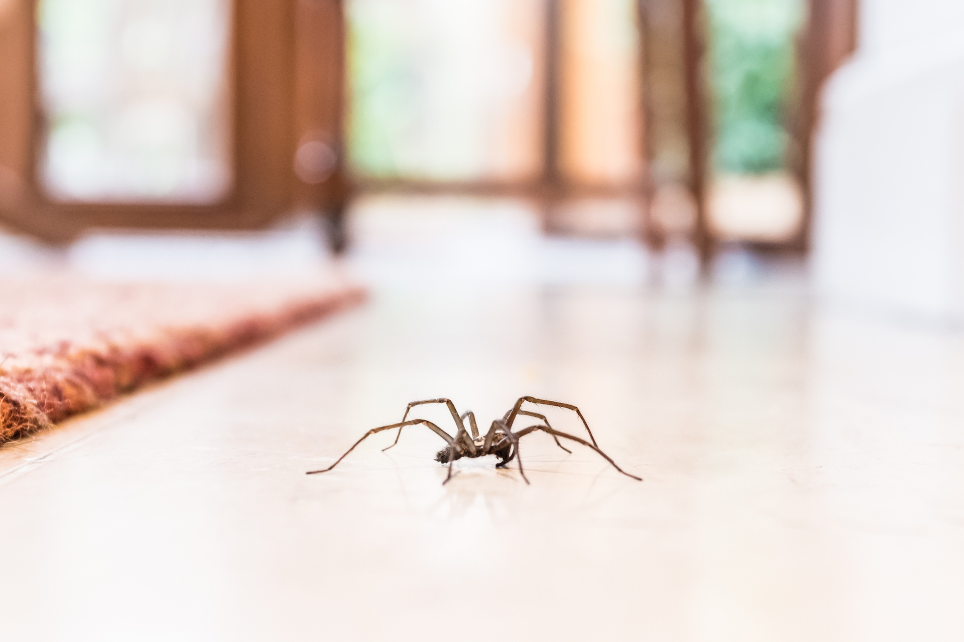 Close up of a spider walking in a house
