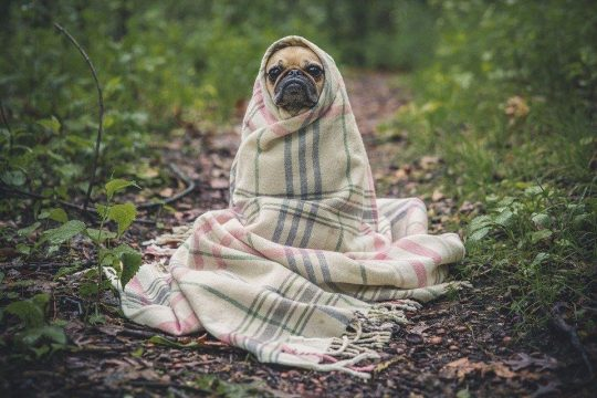 Pug wrapped up in a blanket on a grassy path