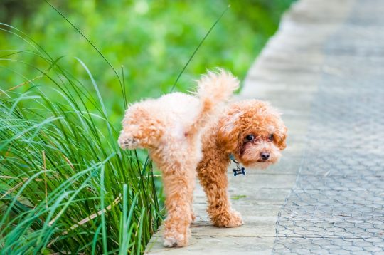 Small poodle going pee on the grass