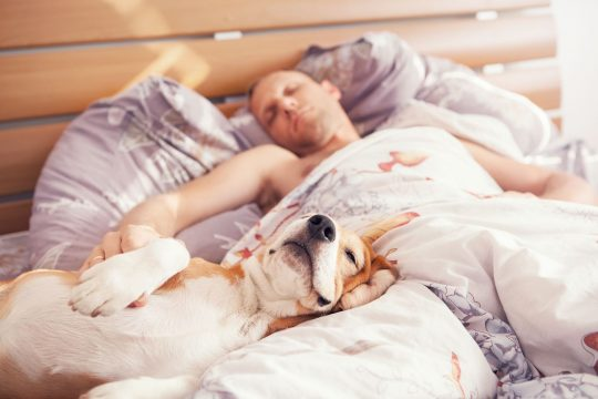 Man sharing his bed with a floppy faced dog