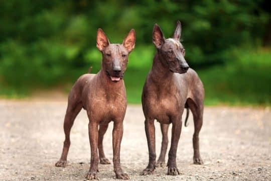 Two Xoloitzcuintlidogs on a dirt road