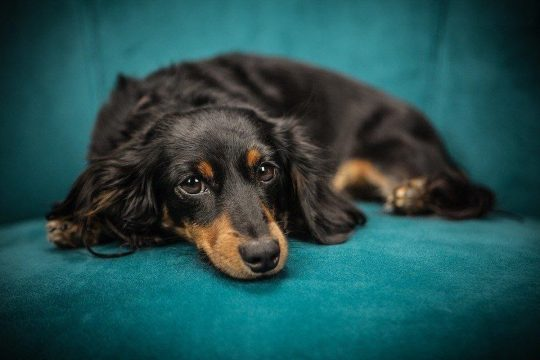 Long haired weenie dog on a teal couch