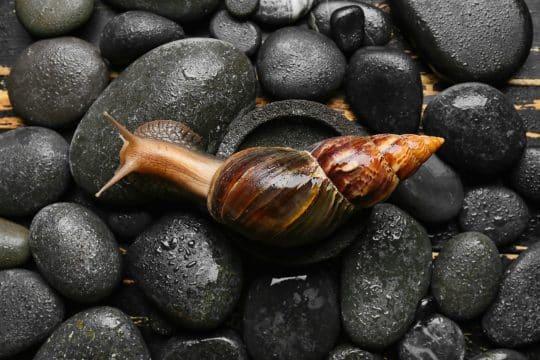 Brown snail on black spa rocks